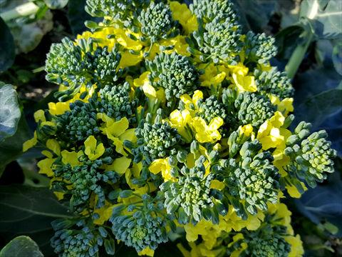 ブロコッリーの花の画像
